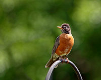 Single American Robin Royalty Free Stock Photography
