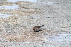 American Tree Sparrow royalty free stock photo