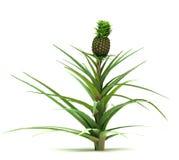 Single Ananas Comosus. Plant isolated white background royalty free illustration