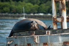 Sea Lion on navigation buoy. Single animal on a navigation Buoy in Puget Sound, WA royalty free stock photography