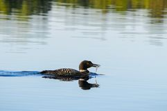 Common loon reflection blue lake water stock photos