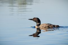 Common loon reflection blue lake water royalty free stock image