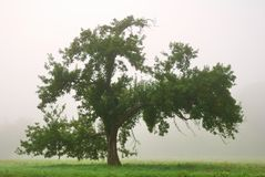 Single apple tree in an autumn fog Stock Photography