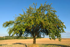 Single apple tree in mid-summer. Single apple tree on a field, with the blue sky in the background royalty free stock photography