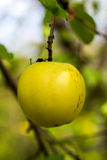 Single apple in the tree waiting to be picked. Stock Photos