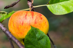 Single apple in the tree waiting to be picked. Royalty Free Stock Photography