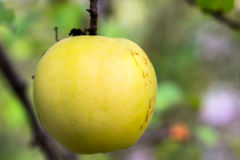 Single apple in the tree waiting to be picked. Royalty Free Stock Image