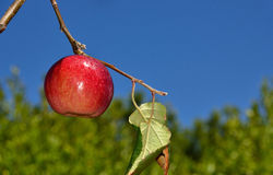 Single Apple. A single wet apple on a tree stock photography