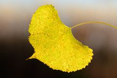 A Single Aspen Leaf in Autumn Royalty Free Stock Images