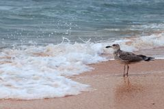 Single attractive big seagulls on the beach against waves. And splashes Stock Image
