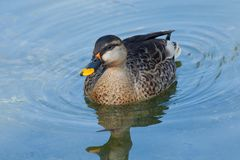 Single attractive swimming toward you wild duck. Reservation Ask. Single attractive swimming toward you wild duck. Reservation national park Askania Nova Stock Photography