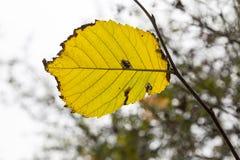 Single autumn beech leaf Stock Photos