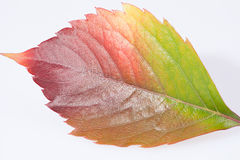Single autumn colorful leaf of parthenocissus on white background.  Stock Image
