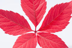 Single autumn colorful leaf of parthenocissus on white background Royalty Free Stock Image