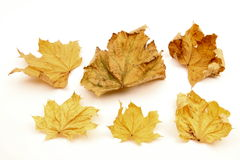 Single autumn leaf Royalty Free Stock Image