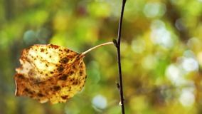 Single autumn leaf on birch in the wind stock footage