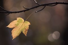 Single autumn leaf left on the branch in the sunrise sun. Single autumn leaf left on the branch in the sunrise Royalty Free Stock Photo