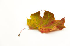 Single autumn leaf Royalty Free Stock Images