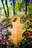 Single autumn leaf Royalty Free Stock Photo