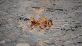 Single autumn leaf stuck on calm serene river surface. Background stock video footage