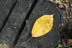 Single Autumn leaf on a tree trunk Royalty Free Stock Photography