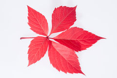 Single autumn red leaf of parthenocissus on white background Royalty Free Stock Image