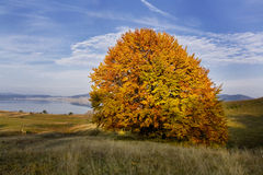 Single autumn tree Stock Photo