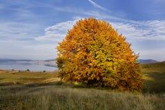 Single autumn tree. Beautiful autumn single  tree near to Batak dam lake Stock Photo