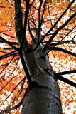 Single autumn tree Royalty Free Stock Photography