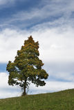 Single autumn tree on meadow hill Royalty Free Stock Image