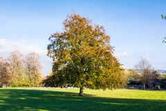 Single Autumnal Tree in Field Park Grass Colors Orange Blue Skie Royalty Free Stock Images