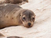 Single Awake Sea Lion Stock Photo