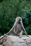 Single baboon monkey (Papio cynocephalus) Royalty Free Stock Photo