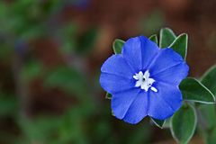 Single Baby Blue Eyes Flower with White Center Royalty Free Stock Photography