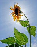 Single back lit sunflower (Helianthus annuus) against blue sky. This backlit sunflower caught the light of the sun and highlighted its warm gold petals Stock Image