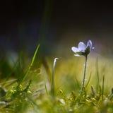 Single backlit Hepatica Stock Photo