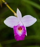 A single bamboo orchid with dark background Stock Image