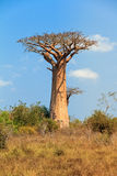 Single Baobab Royalty Free Stock Image