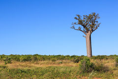 Single Baobab tree in an African landscape with clear blue sky Stock Photo