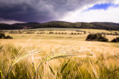 Single barley ear in the middle of the barley field Stock Images