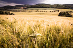 Single barley ear in the middle of the barley field Royalty Free Stock Image