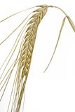 Single barley (Hordeum vulgare) plant Royalty Free Stock Photo