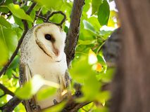 The single barn owl bird Tyto alba is the most widely distributed species of owl, on the green forest tree in close up. A single barn owl bird Tyto alba is the stock image