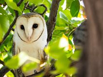 The single barn owl bird Tyto alba is the most widely distributed species of owl, on the green forest tree in close up. A single barn owl bird Tyto alba is the royalty free stock photos
