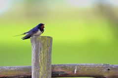 Single Barn swallow bird on a wooden fence stick. During a spring nesting period Royalty Free Stock Photo