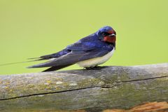Single Barn swallow bird on a wooden fence stick. During a spring nesting period Stock Photos