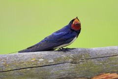 Single Barn swallow bird on a wooden fence stick. During a spring nesting period Stock Photography