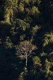 Single barren tree in Vang Vieng, Laos. Single barren tree standing amidst green vegetation in Vang Vieng, Laos stock photography