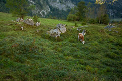 Single Bavarian Cow in green Grassland at Koenigssee Royalty Free Stock Photography