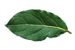 Single bay leaf Royalty Free Stock Photos
